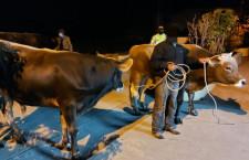 Policía recupera ganado robado en plaza de Iscoconga